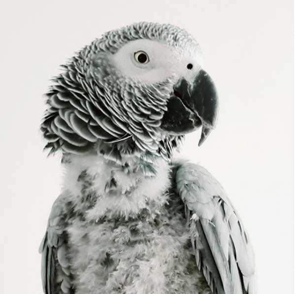 The most talkative TikTok African Grey Parrot.