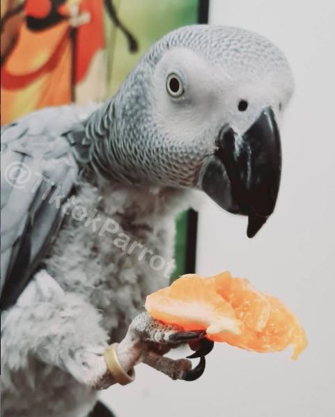 TiktokParrot African Grey Parrot Mitthu