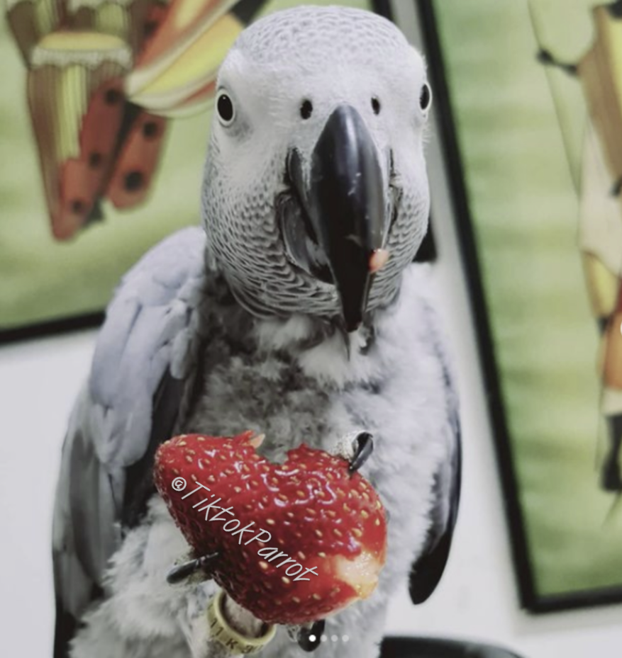 African Grey Parrot Price