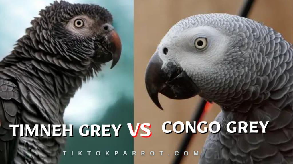 The Difference Between Timneh & Congo Parrots