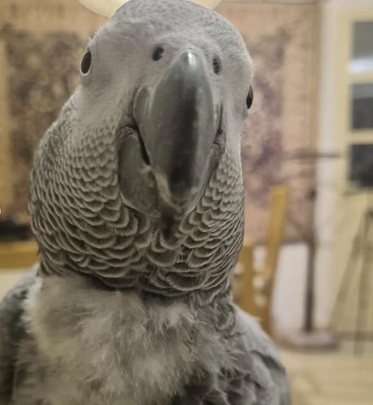 TiktokParrot (African Grey Parrot)